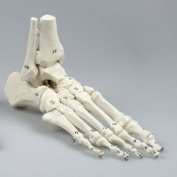 Erler Zimmer, modello anatomico di articolazione dello scheletro del piede, con tronchi di tibia e perone, con numerazione 6054