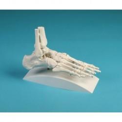 Erler Zimmer, modelo anatômico esqueleto com espinha flexível e ligamentos articulares