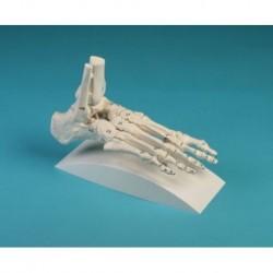 Erler Zimmer, anatomische Skelettmodell des weiblichen Beckens mit Kreuzbein 4054