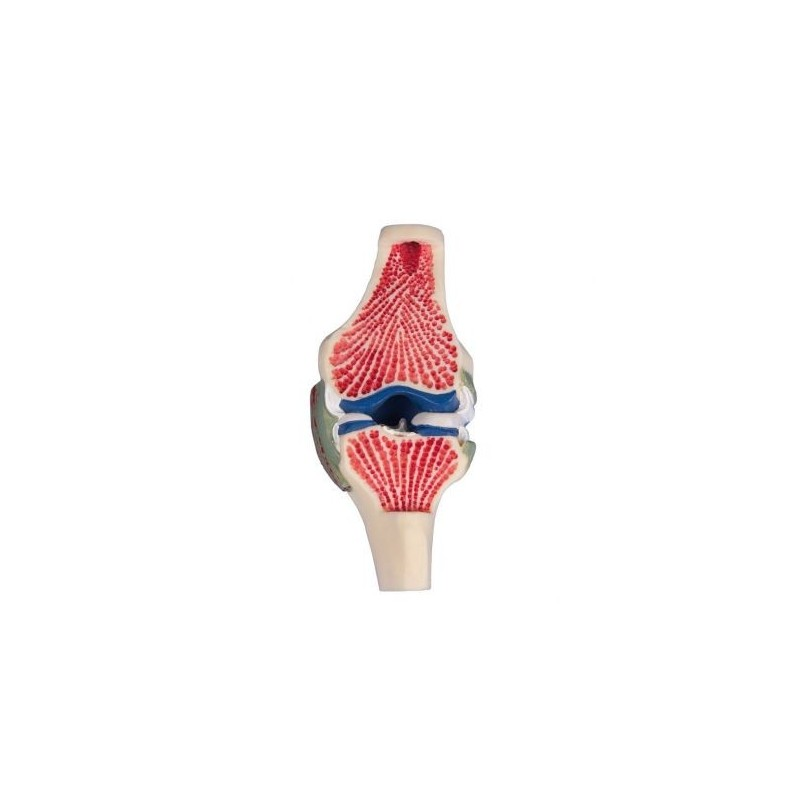 Erler Zimmer, modello anatomico di scheletro del bacino femminile con due vertebre lombari e tronchi dei femori 4059