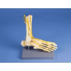 Erler Zimmer, modello anatomico di scheletro del piede con sistema nervoso