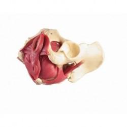 Erler Zimmer, modello anatomico di bacino femminile con pavimento pelvico, in 12 parti 4075