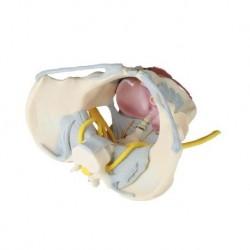 Erler Zimmer, modello anatomico di bacino femminile con pavimento pelvico, legamenti e nervi 4070B