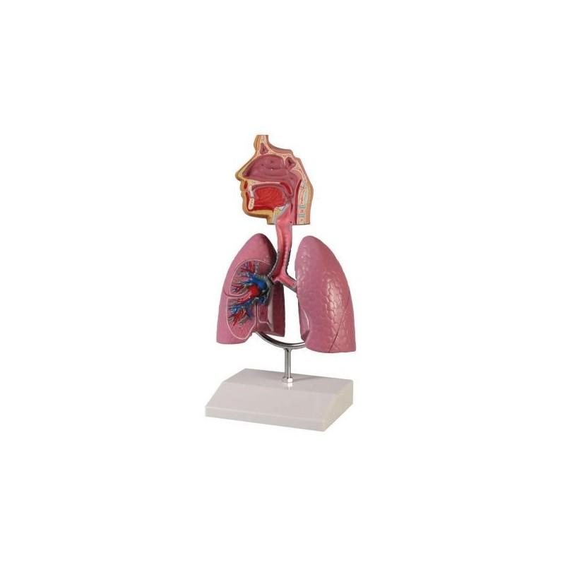 Erler Zimmer, modello anatomico didattico di sistema respiratorio, in scala dimezzata G216