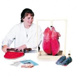 Erler Zimmer, modello anatomico didattico funzionale di polmoni R10060
