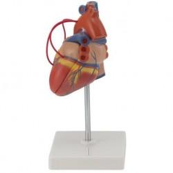 Erler Zimmer, modello anatomico funzionale di laringe, ingrandita 4 volte, G120