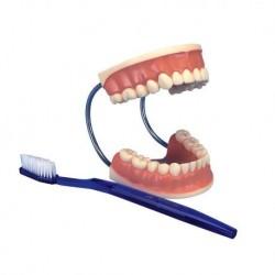 3B Scientific, modello D16 gigante per la cura dei denti, ingrandito 3 volte