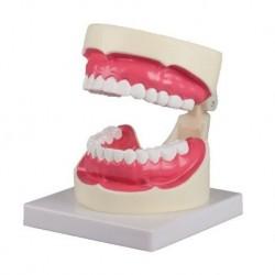 Erler Zimmer, modello anatomico per spiegare la corretta igiene orale D217