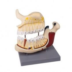 Erler Zimmer, modello anatomico di metà mandibola superiore e inferiore, ingrandita 2,5 volte