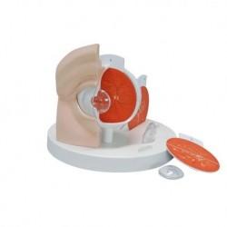 Pelle trasparente per uso diurno per simulatore di laparoscopia R10086/2