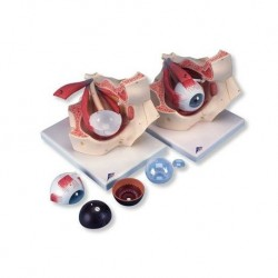 3B Scientific, modello anatomico di occhio nella cavità oculare, ingrandito 3 volte, in 7 parti F13