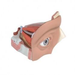 3B Scientific, modello anatomico di occhio ingrandito 5 volte, in 12 parti VJ500A