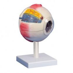 Erler Zimmer,  modello anatomico di 'occhio ingrandito di 6 volte, scomponibile in 6 parti F220