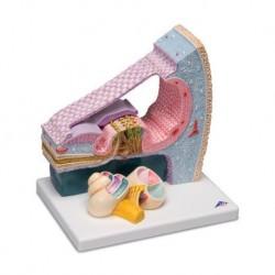 3B Scientific, modello anatomico di organo del Corti E14