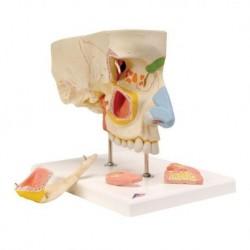 3B Scientific, modello anatomico di naso con seni paranasali, in 5 pezzi , E20