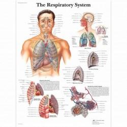 3B Scientific, tavola anatomica, Poster L'apparato respiratorio (cod. VR4322L)