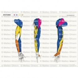 Osteoposter - Miotomi Braccia