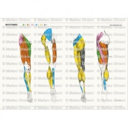 Osteoposter - Miotomi Gambe