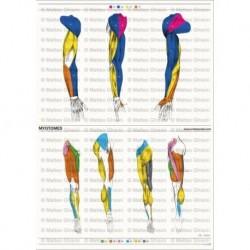 Osteoposter - Miotomi Braccia e  Gambe, Verticale