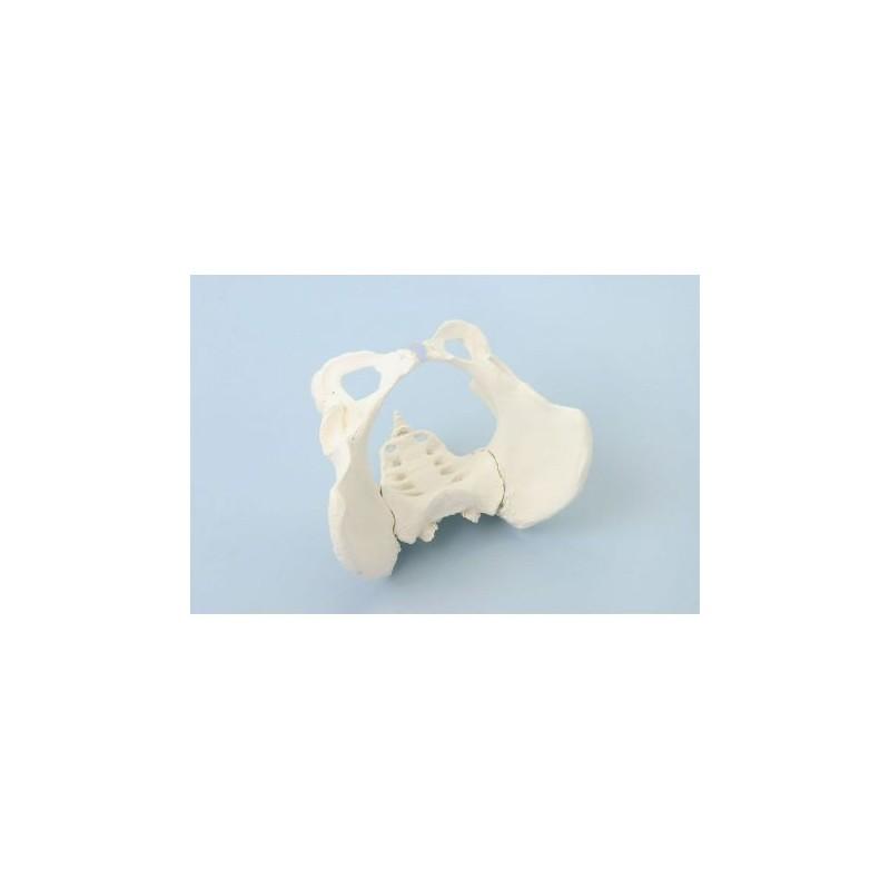 Erler Zimmer, modello anatomico di scheletro del bacino femminile con osso sacro 4054