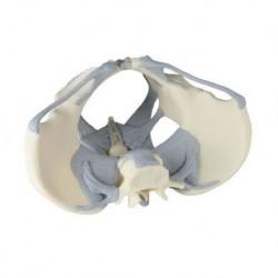 Erler Zimmer, modello anatomico di scheletro del bacino femminile con legamenti 4070L