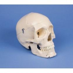 Erler Zimmer, modello anatomico di cranio per dentisti ed ortodonzia in 4 parti 4513