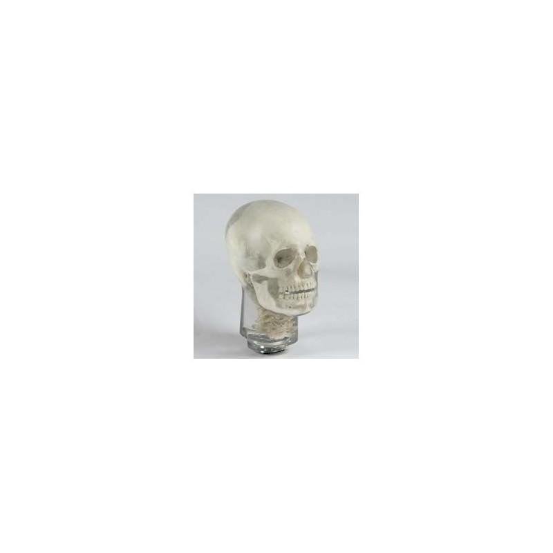 Simulatore per radiologia - Cranio con vertebre Cervicali - Opaco - Erler Zimmer 7310