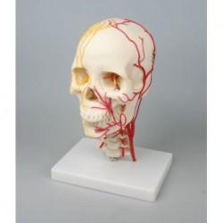 Erler Zimmer, modello anatomico di cranio neurovascolare 4516
