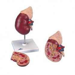 Modello anatomico di rene con ghiandola surrenale, scomponibile in 2 parti K12
