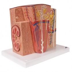 Modello anatomico di rene 3B MICROanatomy K13