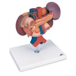 Modello anatomico di reni con organi della parte superiore del ventre, in 3 parti K22/3