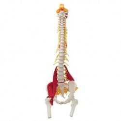 Colonna vertebrale 3B Scientific con Muscoli e tronchi dei femori W99120