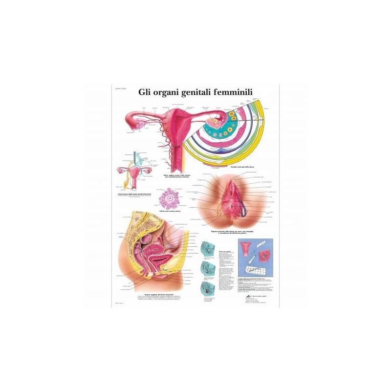 3B Scientific, tavola anatomica, Gli organi genitali femminili (cod, VR4532UU )