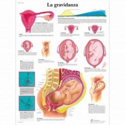 3B Scientific, tavola anatomica, La gravidanza (cod, VR4554UU )