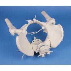 Erler Zimmer, modello a montaggio elastico di scheletro del bacino femminile con due vertebre lombari e tronchi dei femori 4059G
