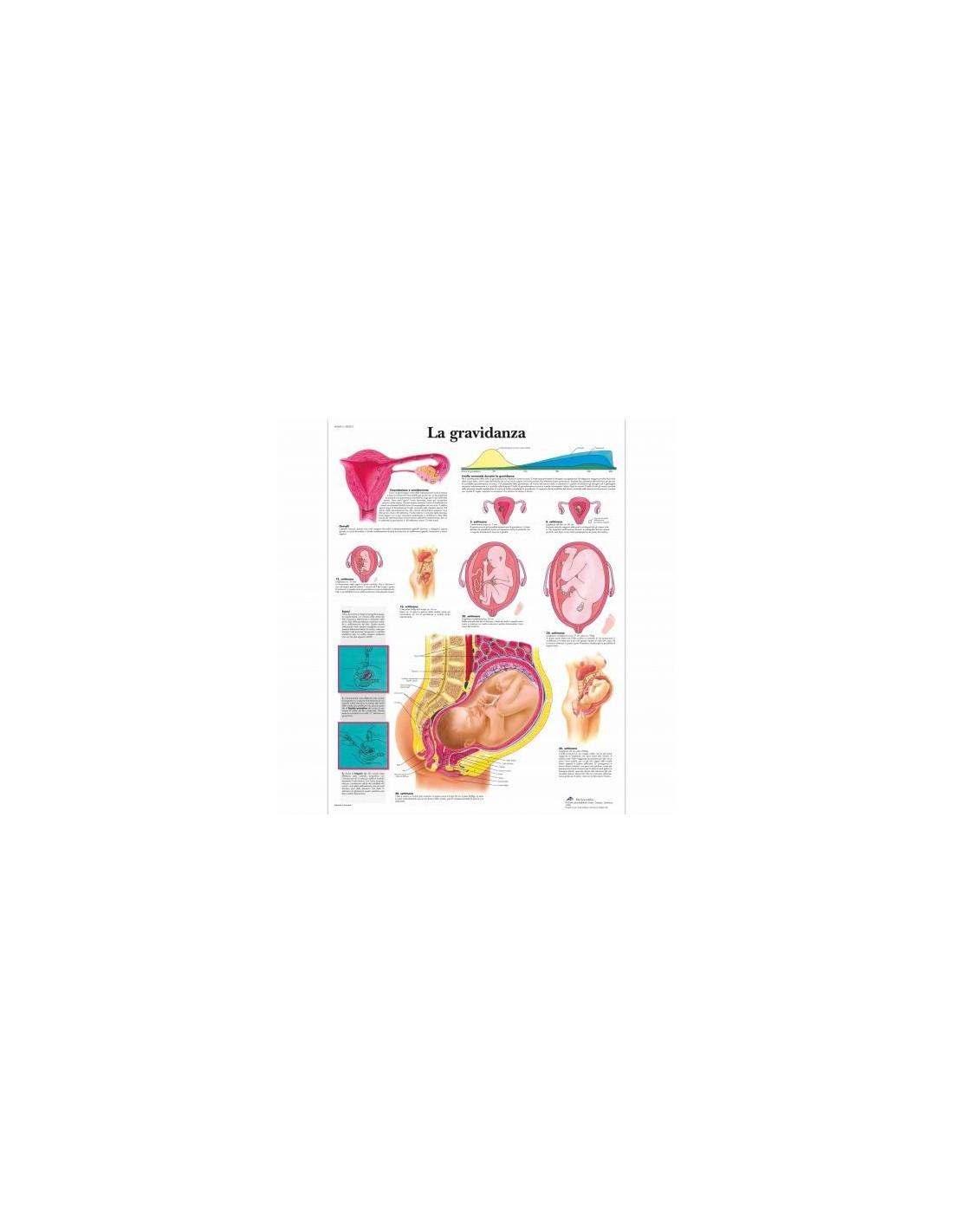 modelo anatómico de la sección longitudinal del riñón, 3 veces K10