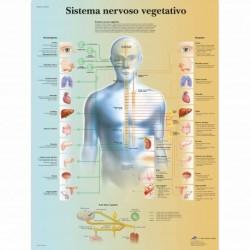 3B Scientific, tavola anatomica, Poster Il sistema nervoso vegetativo  cod. VR4610UU