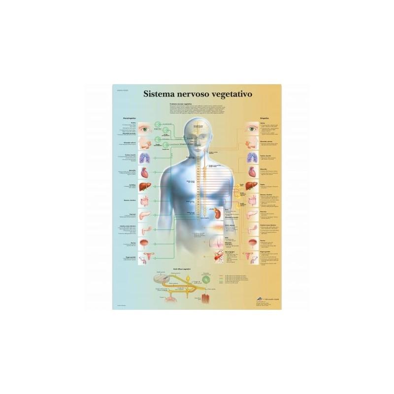 3B Scientific, tavola anatomica, Poster Il sistema nervoso vegetativo cod. VR4610L