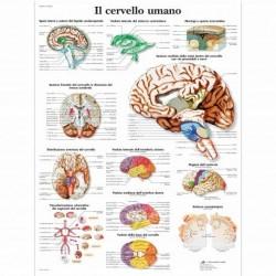 3B Scientific, tavola anatomica, Poster Il Cervello Umano cod. VR4615L