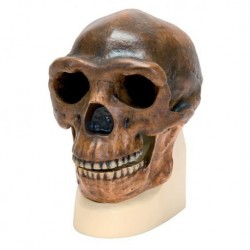 Riproduzione di cranio Homo Erectus Pekinensis  (Weidenreich, 1940)  VP750/1