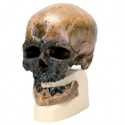 Riproduzione di cranio Homo sapiens (Crô-Magnon) VP752/1
