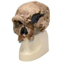 Riproduzione di cranio Homo steinheimnensis (Berkhemer, 1936) VP753/1