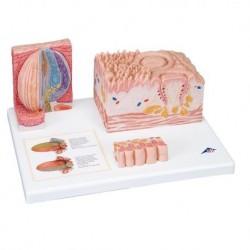 3B Scientific, MICROanatomy, Modello di lingua D17