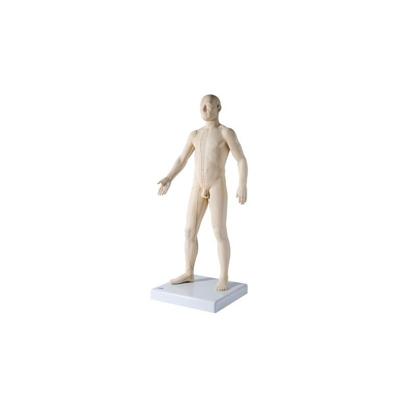 3B Scientific, Modello maschile per training agopuntura N30