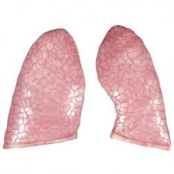 Polmoni di ricambio, per torso umano 3B Scientific, 2 pezzi XB007