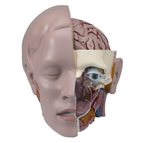 Berühmt Inneres Organ Anatomie Tabelle Zeitgenössisch - Menschliche ...