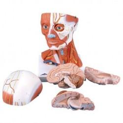 3B Scientific, modello anatomico di testa con muscoli, in 5 parti C05