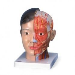 3B Scientific, modello anatomico di testa asiatica con collo, in 4 parti C06