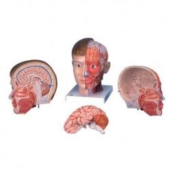 3B Scientific, modello anatomico di testa con collo, in 4 parti C07