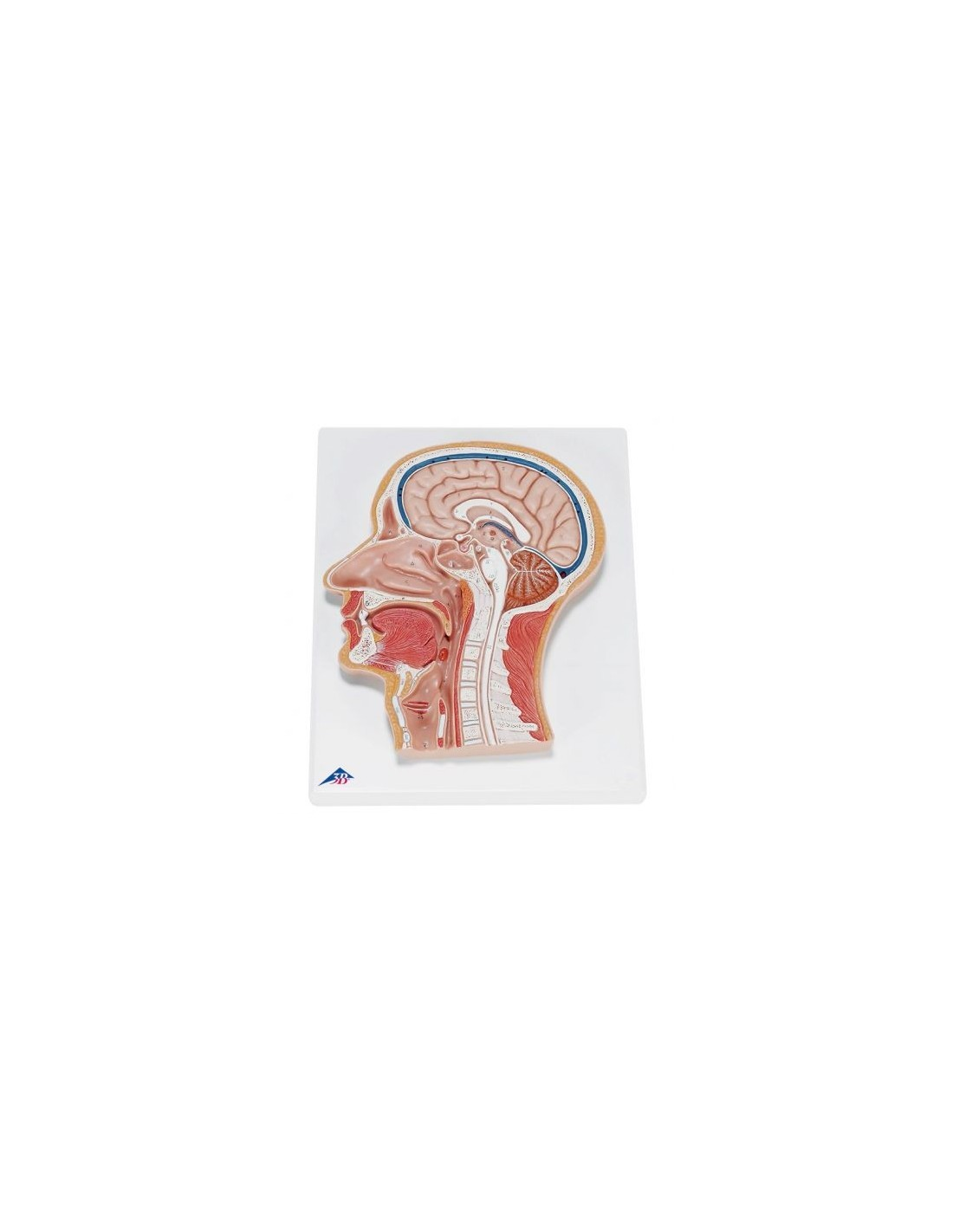 3b Scientific Anatomical Table Poster The Peripheral Nervous